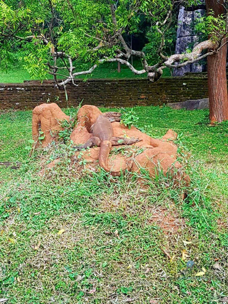 Sigiriya Geocaching Sri Lanka Waran
