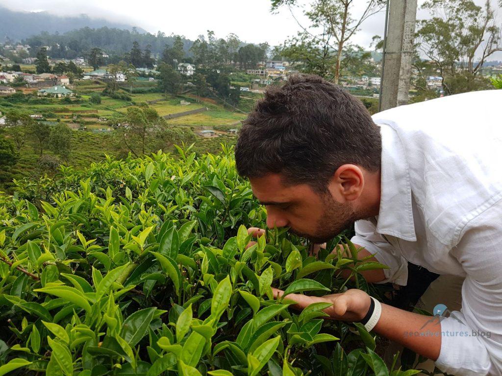 Begutachtung der Teepflanzen