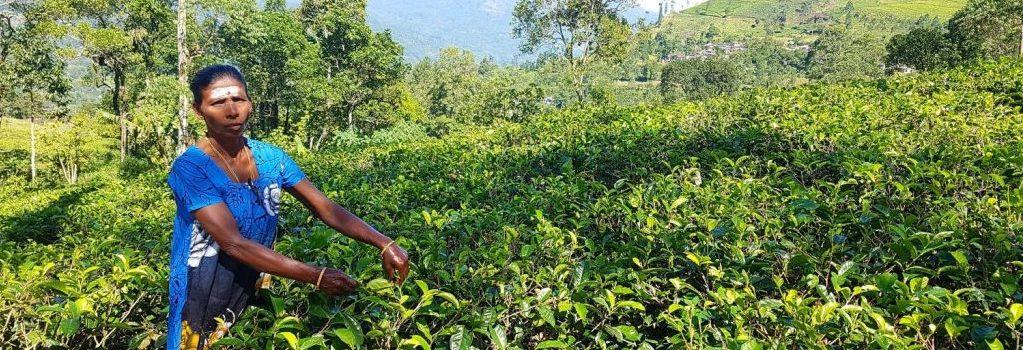 Sri Lanka (2) – Cachen zwischen Teeplantagen und eine unglaubliche Zugfahrt zum Backenzahn Buddhas