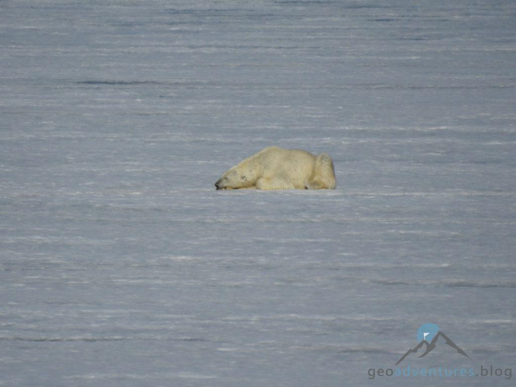 Geocaching auf Spitzbergen - Eisbär